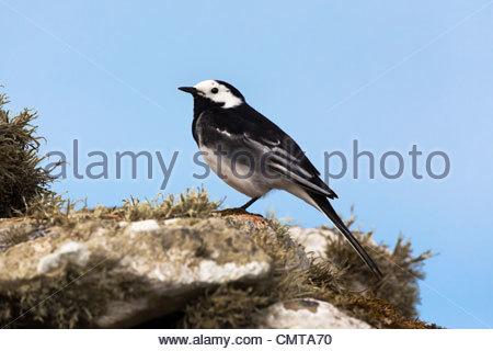 Pied wagtail, Motacilla alba, Islay Scotland, UK - Stock Photo
