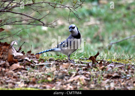 Blue jay in garden in Gatlinburg Tennessee - Stock Photo
