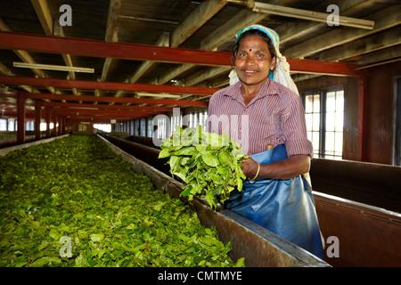 Sri Lanka - Nuwara Eliya, Kandy province, tea factory - Stock Photo