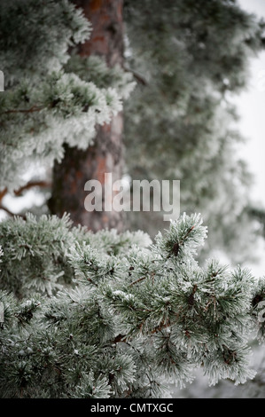 Tree in frost with branch - Stock Photo