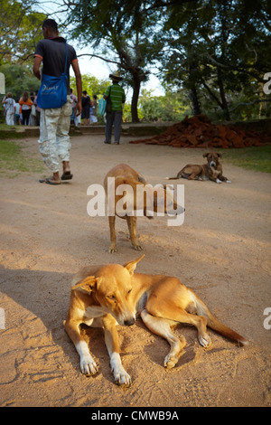 Sri Lanka - stray dogs in the vicinity of the historic district Polonnaruwa - Stock Photo