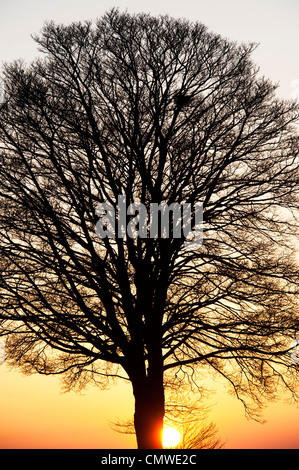 Quercus. Oak Tree sunset silhouette in the English countryside - Stock Photo