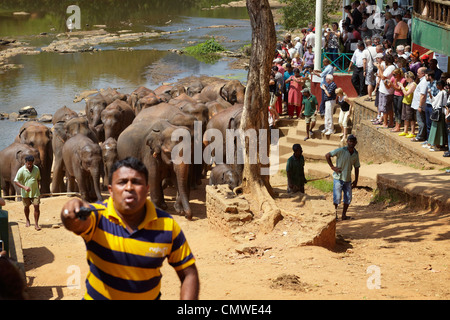 Sri Lanka - Pinnavela, Elephant Orphanage, Elephants coming back from bath - Stock Photo