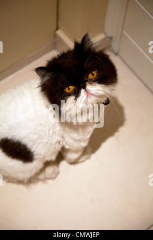 Persian Cat with 'lion cut' waiting at front door - Stock Photo