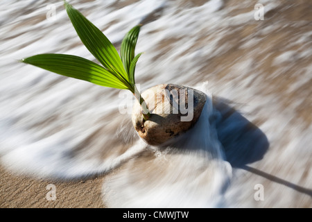 how to grow a coconut palm from seed