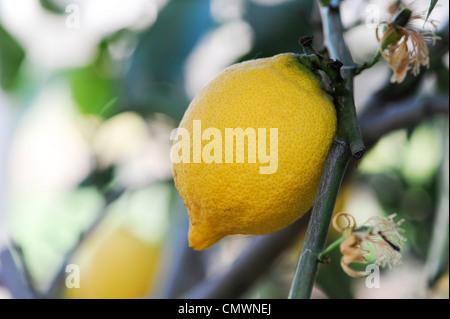 Citrus limon 'four seasons' . Lemon fruit on tree at RHS Wisley gardens, Surrey, UK - Stock Photo