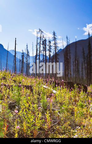 Destruction and renewal after 2003 Kootenay Wildfires, Marble Canyon, Kootenay National Park, British Columbia - Stock Photo