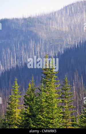 Forest renewal after 2003 Kootenay Wildfires, evidence of destruction in background, Marble Canyon, Kootenay National - Stock Photo