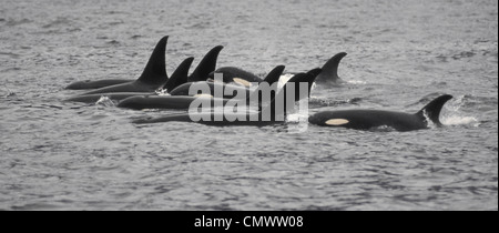 A pod of Killer Whales (Orcinus orca)  in the waters of Icy Strait, Southeast Alaska - Stock Photo