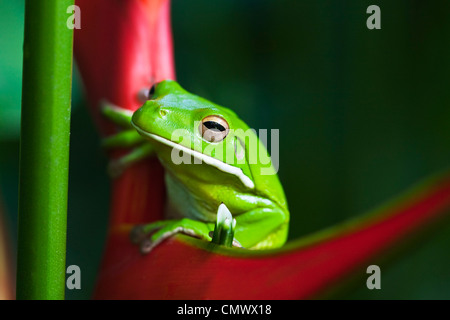 White-lipped tree frog (Litoria infrafrenata) sitting on a heliconia flower. Cairns, Queensland, Australia - Stock Photo