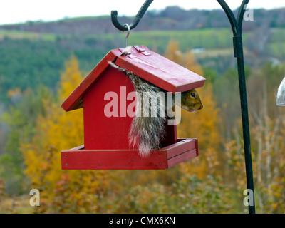 Eastern gray squirrel sitting inside bird feeder peeking out on fall Vermont day, Peacham VT, USA - Stock Photo