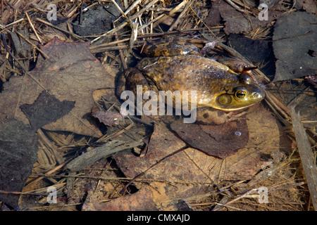 BullFrog ( Rana catesbeiana ) resting in pond. Eastern USA. - Stock Photo