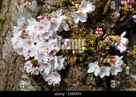 Blossom growing on the trunk bark, Yoshino Cherry, Prunus x Yedoensis (Speciosa x Subhirtella), Savill Garden, UK - Stock Photo