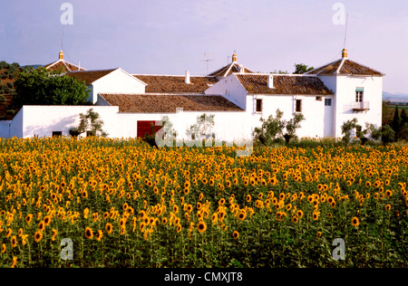 Sunflowers in front of Finca, Andalusia, Spain - Stock Photo