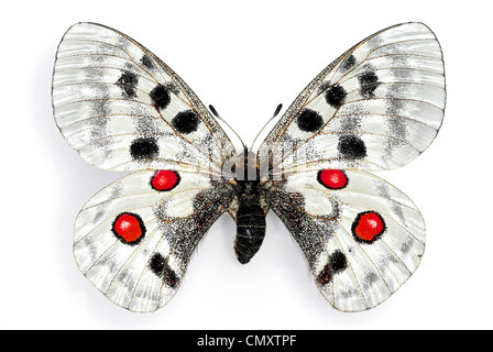 Apollo (Parnassius apollo), an endangered european butterfly - Stock Photo