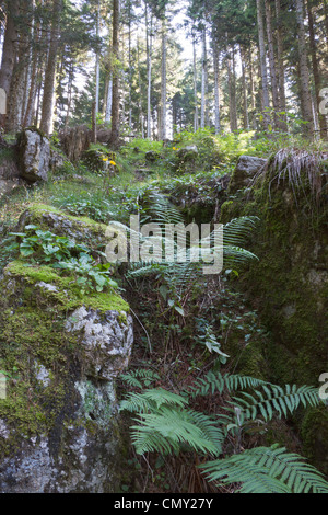 Conifers and ferns in the heart of a wood on the plateau of Asiago. - Stock Photo