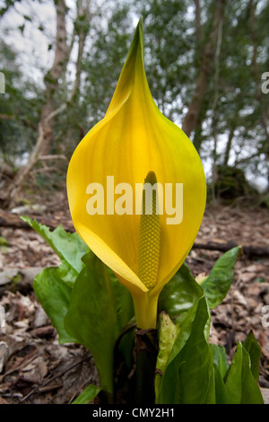 Lysichiton Americanus Yellow Skunk Cabbage Flower Stock Photo