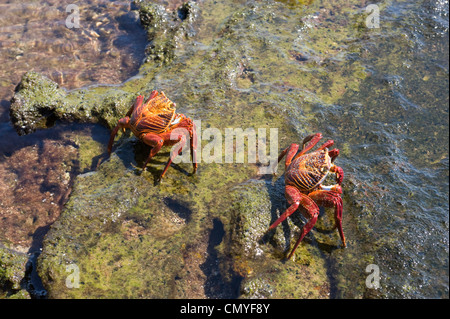Red crabs Galapagos Islands - Stock Photo