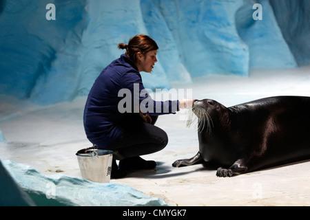 Norway, County of Troms, Tromso, Polaria museum, training of bearded seal (Erignathus barbatus) - Stock Photo