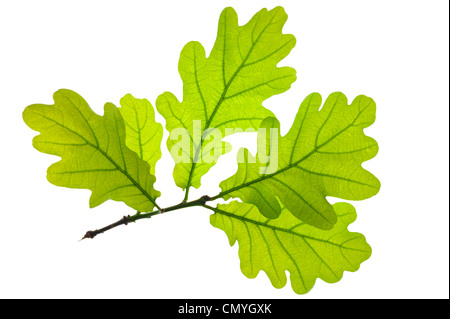 Green oak leaf isolated over white background - Stock Photo