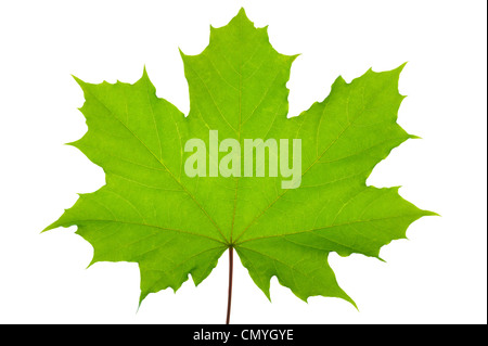 Green maple leaf isolated over white background - Stock Photo