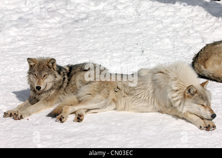 Wild Gray Wolf in Northern Ontario, Canada (this is a wild wolf pack photographed from a blind) - Stock Photo
