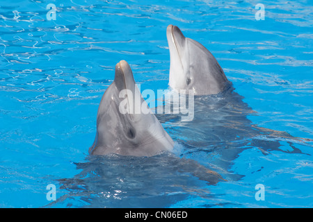 Two bottlenose dolphins in the aquarium - Stock Photo