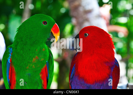 Birds in love: Pair of lori parrots on the tree - Stock Photo