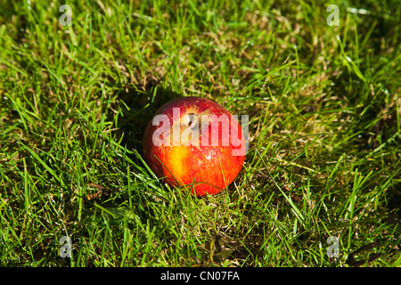 Fruit, Apple, Red apple resting on the grass in Grange Farms orchard. - Stock Photo
