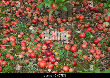 Fruit, Apple, Katy apples rotting on the ground having fallen from the tree in Grange Farms orchard. - Stock Photo