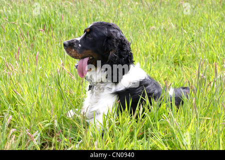 An English Springer Spaniel dog outdoors. Lying down in a field of grass, panting after the fun of chasing around - Stock Photo