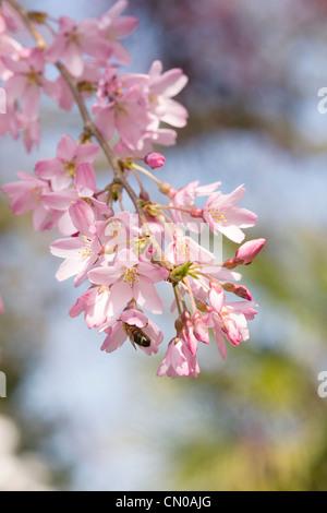 Prunus pendula 'Pendula Rosea'. Drooping Rosebud Cherry. - Stock Photo