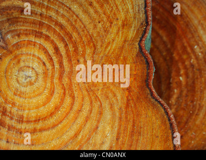 Tree rings. Sawn tree trunk pattern. - Stock Photo