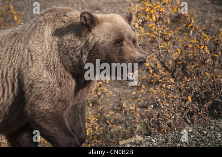 Grizzly Bear (Ursus arctos) sow feeds in the Stony riverbed. Denali National Park, Alaska. - Stock Photo