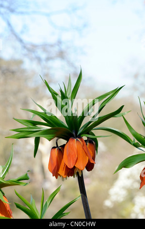 Fritillaria imperialis. Crown Imperial flower - Stock Photo