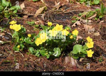 Caltha palustris - Kingcup or Marsh Marigold - Stock Photo