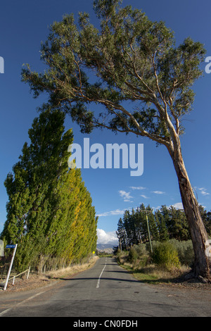 Poplar hedge and gum tree against a clear blue sky in then Marlborough district of New Zealand - Stock Photo