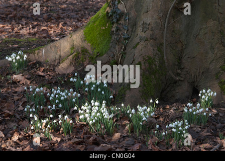 Galanthus nivalis, Snowdrop - Stock Photo