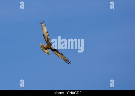 Swamp harrier ( Circus approximans ) flying in a blue sky - Stock Photo