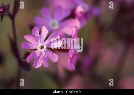 Red campion, Silene dioica, also known as  Adders' Flower, Jack-by-the-Hedge, Red Mintchop, Soldiers' Buttons and - Stock Photo