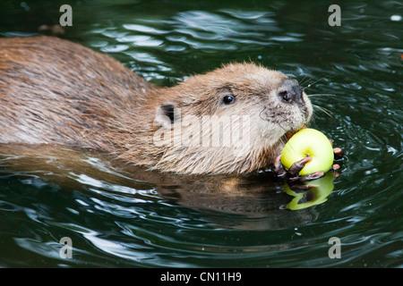 European or Eurasian Beaver - Castor fiber - Stock Photo
