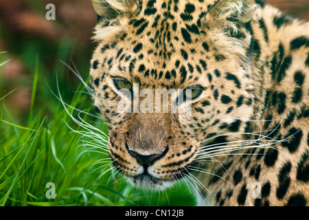 Amur leopard - Panthera pardus - Stock Photo