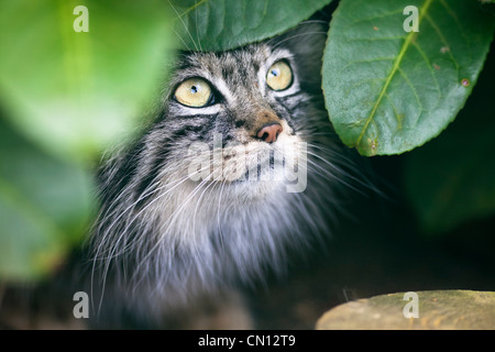 Pallas Cat - Otocolobus manul - Stock Photo