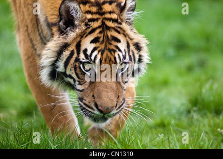 Bengal Tiger - Panthera tigris - stalking - Stock Photo
