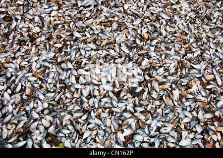 Mussel shells on Portnalong beach, Isle of skye, Scotland, UK.