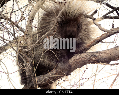North American Porcupine Erethizon dorsatum Monte Vista National Wildlife Refuge Colorado USA - Stock Photo