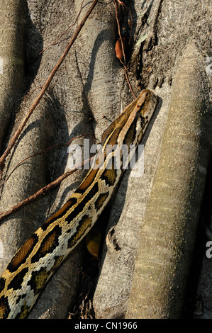 Burmese python, Python molurus bivittatus, Florida - Stock Photo
