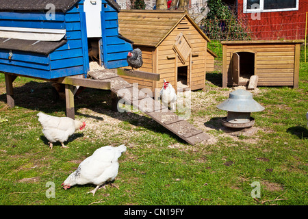 Free range chickens pecking around their hen coops on a smallholding in Wiltshire, England, UK - Stock Photo