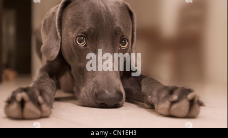 Dog Laying on Floor - Stock Photo