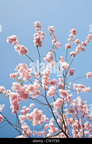 Spring Cherry Blossom against a blue sky - Stock Photo